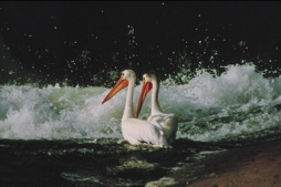 American White pelicans at the Weir - Photo Credit: Tourism Saskatoon